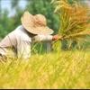 کانال فروش مستقیم برنج شمال